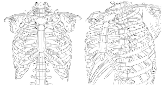 Esqueleto de vector de líneas y caminos, costillas de contorno y columna sobre fondo blanco