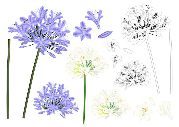 Esquema de agapantos azul morado