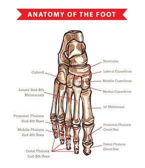Esquema de la anatomía de los huesos del pie humano de la medicina ortopédica. articulaciones del tobillo de la pierna del esqueleto y falanges de los dedos del pie, huesos cuboides, metatarsianos, naviculares y cuneiformes, vista dorsal dibujada a mano del pie