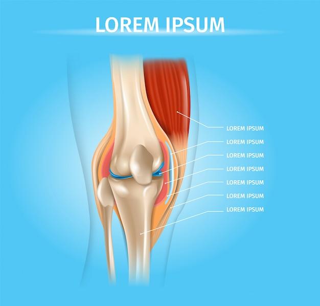 Esquema de vector realista de anatomía de articulación de rodilla humana