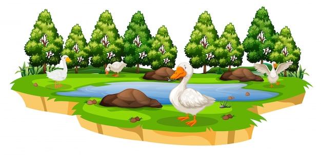 Un estanque de patos aislados