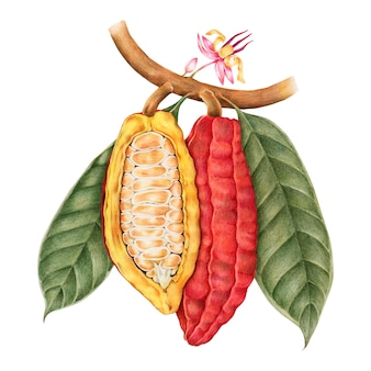 Estilo de dibujo de ilustración de cacao