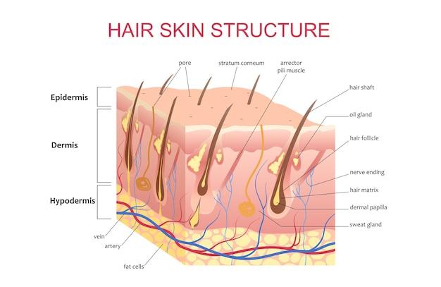 Estructura 3d del cuero cabelludo de la piel del cabello, ilustración de póster de información infográfica de educación anatómica