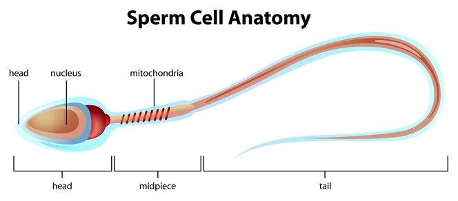 Estructura de células espermáticas