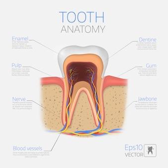 Estructura del diente.