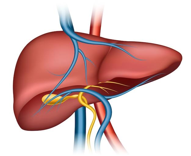 Estructura del hígado humano. órgano humano, ciencia médica, salud interna