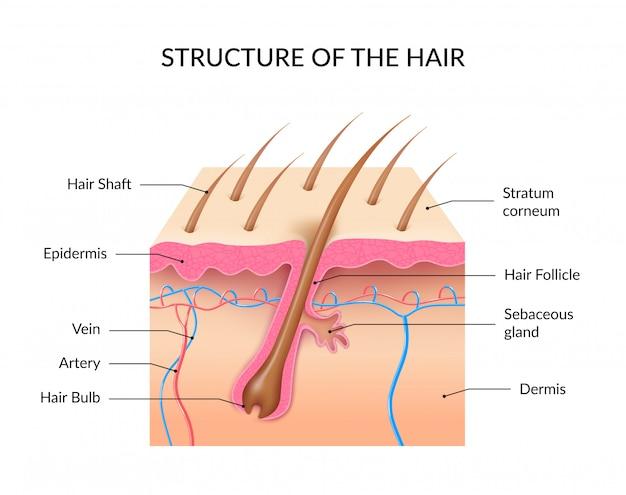 Estructura de la infografía del cabello.