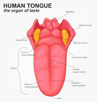 Estructura de lengua humana realista