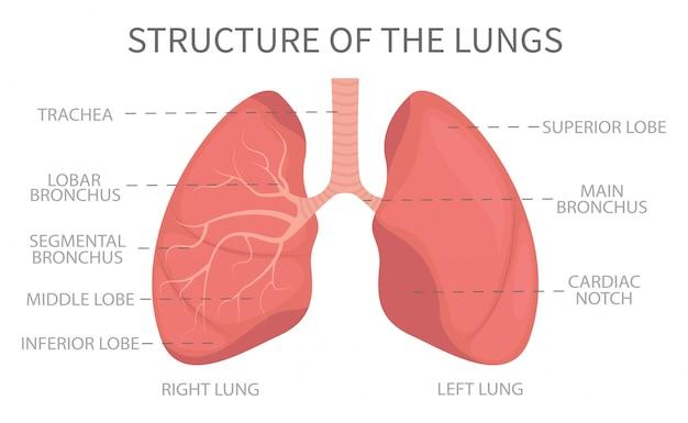 Estructura médica de los pulmones