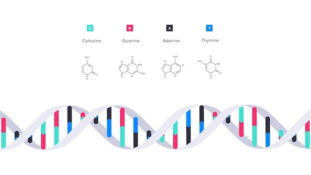 Estructura molecular de la ilustración educativa infográfica de adn
