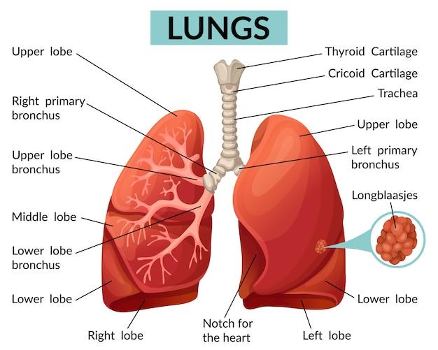 Estructura de la plantilla de los pulmones.