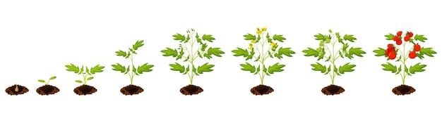 Etapa de crecimiento del tomate. proceso de siembra de tomate a partir de semillas germinadas a ilustración vegetal madura. infografía de crecimiento de la etapa del ciclo de vida de la planta agrícola en fondo blanco