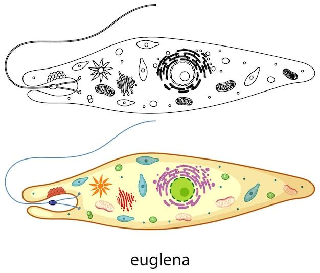 Euglena en color y doodle sobre fondo blanco.