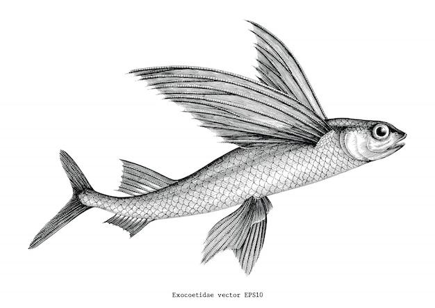 Exocoetidae o pez volador dibujo a mano ilustración vintage grabado