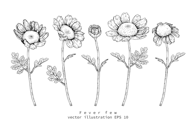 Feverfew daisy dibujos florales
