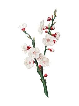 Flor de albaricoque de la ilustración de pomona italiana