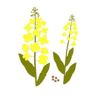 Flor de canola. ilustración de vector de planta y semilla de violación.