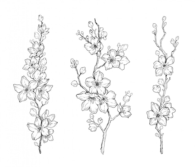 Flor de cerezo de primavera, bosquejo botánico de línea negra