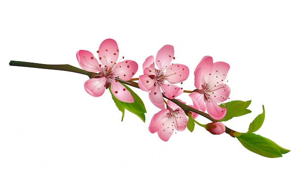 Flor de cerezo, sakura flores aisladas