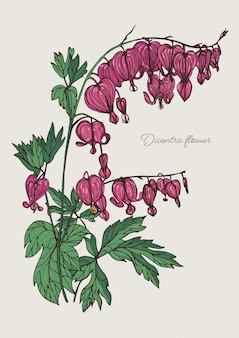 Flor del corazón sangrante. dibujado a mano ilustración colorida con flor floreciente dicentra.