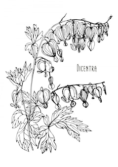 Flor del corazón sangrante. illustr blanco y negro dibujado a mano