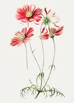 Flor cosmos rosa