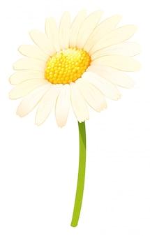 Flor de margarita en color blanco