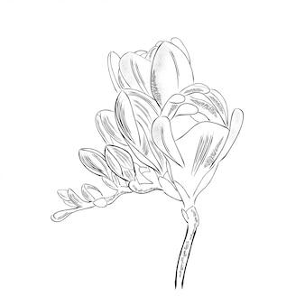 Flor de freesia contorno dibujado mano aislada