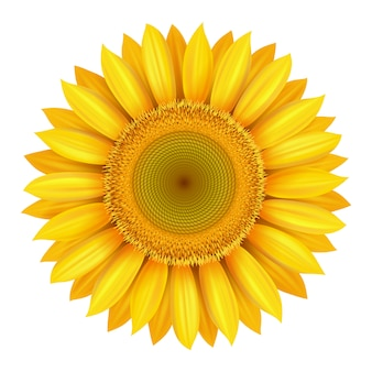 Flor de girasol amarillo brillante hermoso realista aislado