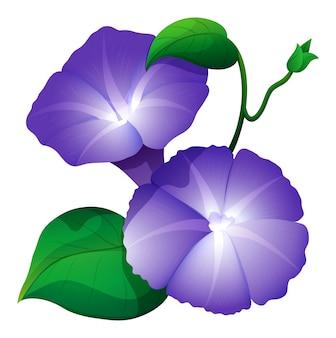 Flor de la gloria de mañana en color púrpura