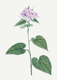 Flor de la gloria de la mañana en flor