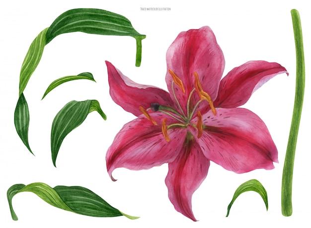 Flor y hojas de lirio asiático stargazer