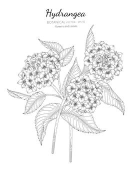 Flor de hortensia y hojas dibujadas a mano ilustración botánica con arte lineal sobre fondos blancos.