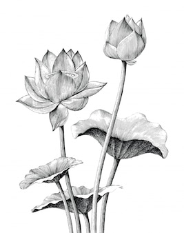 Flor de loto dibujo a mano estilo vintage grabado