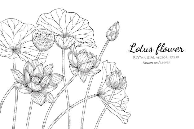 Flor de loto y hojas dibujadas a mano ilustración botánica con arte lineal sobre fondos blancos.