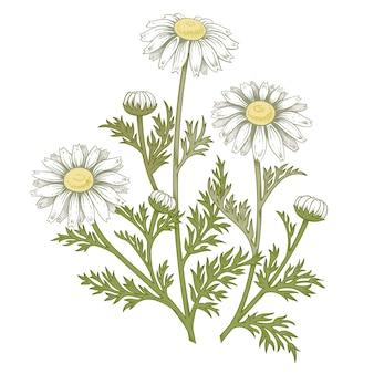 Flor de margarita médica.