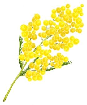 Flor de mimosa amarilla. símbolo de flor de mimosa del día de la mujer
