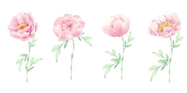 Flor de peonía rosa acuarela y hojas verdes elementos aislados sobre fondo blanco