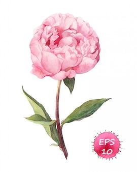 Flor de peonía rosa