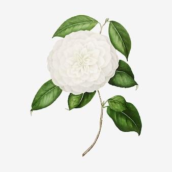 Flor de rosa de camelia blanca