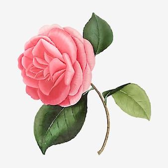 Flor de rosa de camelia rosa