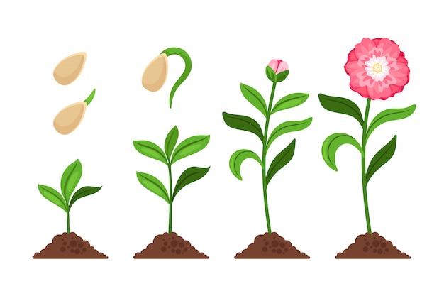 Flor rosa iconos de iconos de proceso de florecimiento y florecimiento