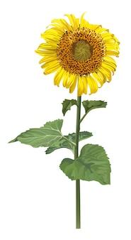 Flor de sol realista sobre fondo blanco