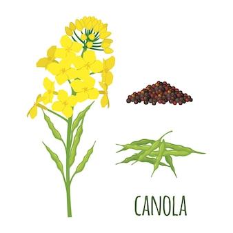 Flores de canola con vaina y semillas en estilo plano.