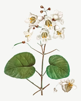Flores de catalpa
