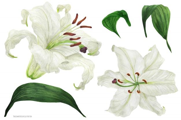 Flores y hojas de lirio oriental trazan acuarela