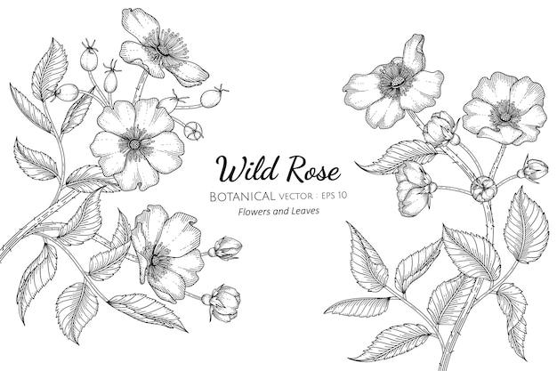 Flores y hojas de rosas silvestres dibujadas a mano ilustración botánica con arte lineal sobre fondos blancos.