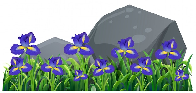 Flores irlandesas púrpuras en el jardín