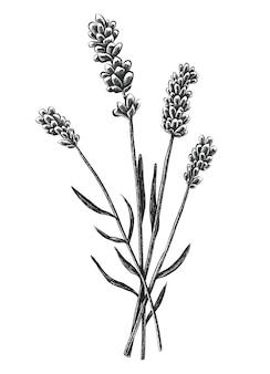 Flores de lavanda dibujadas a mano aisladas en blanco