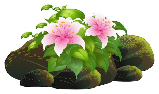 Flores de lirio rosa y rocas en blanco
